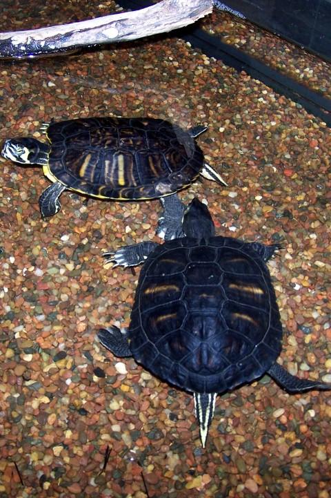 Turtles for South carolina freshwater fish