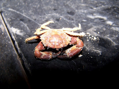 Xanthid crab