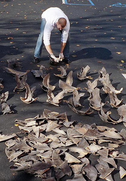 Confiscated Shark Fins